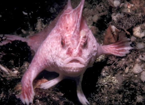 Handfish.jpg